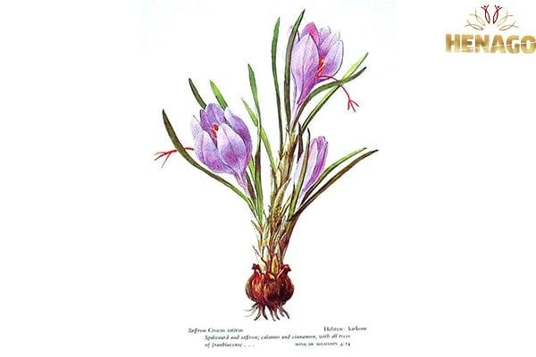 Tổng quan về nhụy hoa nghệ tây saffron