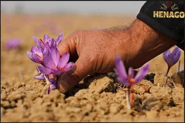 Nhụy hoa nghệ tây Henago