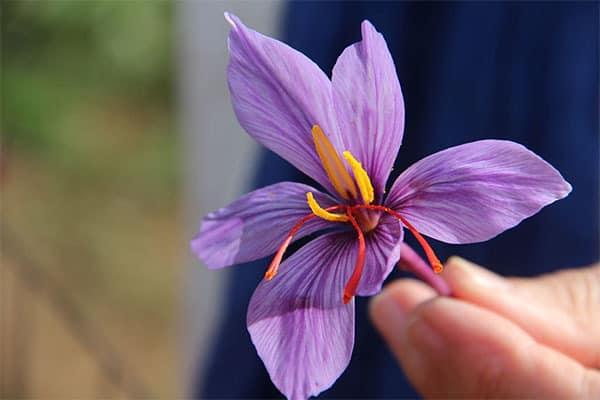 Thành phần chính trong nhụy hoa nghệ tây Saffron